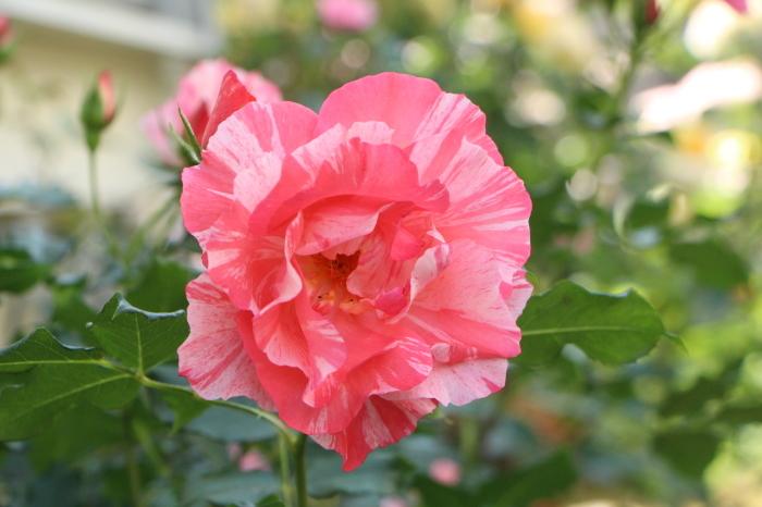 庭のバラ_d0150720_06384559.jpg