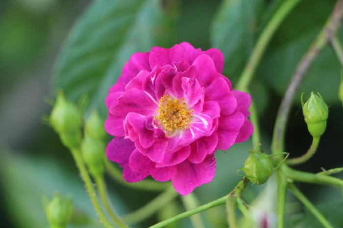 庭のバラ_d0150720_06430008.jpg