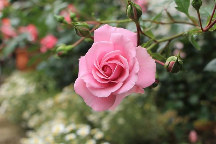 庭のバラ_d0150720_06501513.jpg