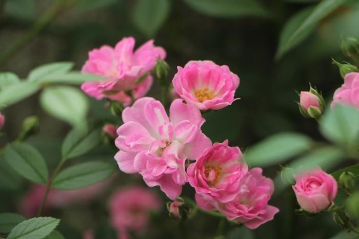 庭のバラ_d0150720_06523848.jpg