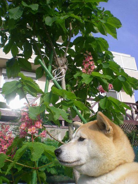 '18,5,8(火)柴犬ラブのノルウェー人夫婦!_f0060461_08523261.jpg