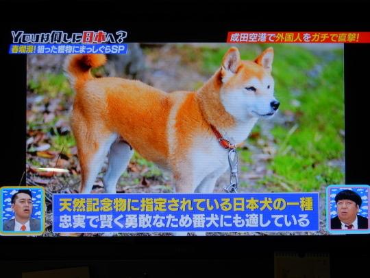 '18,5,8(火)柴犬ラブのノルウェー人夫婦!_f0060461_09034157.jpg