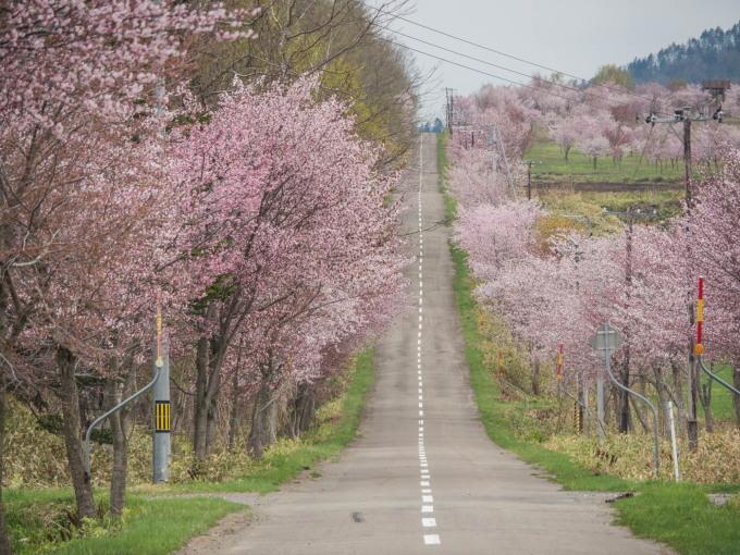 十勝の桜名所「桜六花公園」のサクラが満開になりました。_f0276498_11295732.jpg