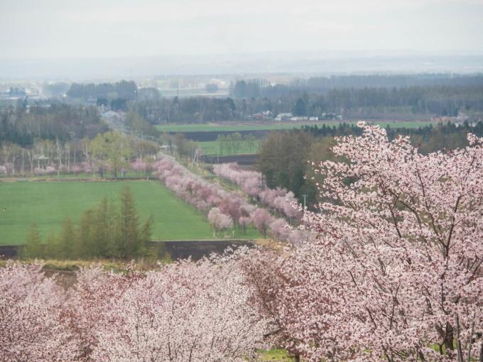 十勝の桜名所「桜六花公園」のサクラが満開になりました。_f0276498_11305394.jpg