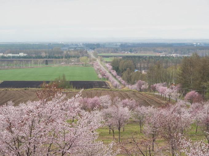 十勝の桜名所「桜六花公園」のサクラが満開になりました。_f0276498_11324157.jpg