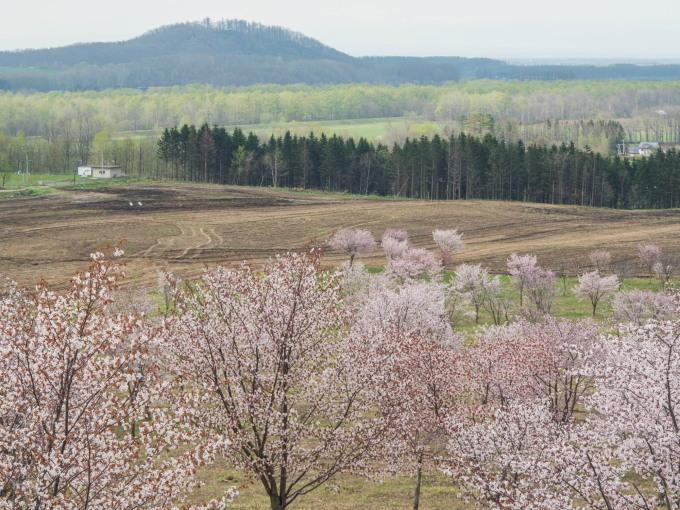 十勝の桜名所「桜六花公園」のサクラが満開になりました。_f0276498_11335466.jpg