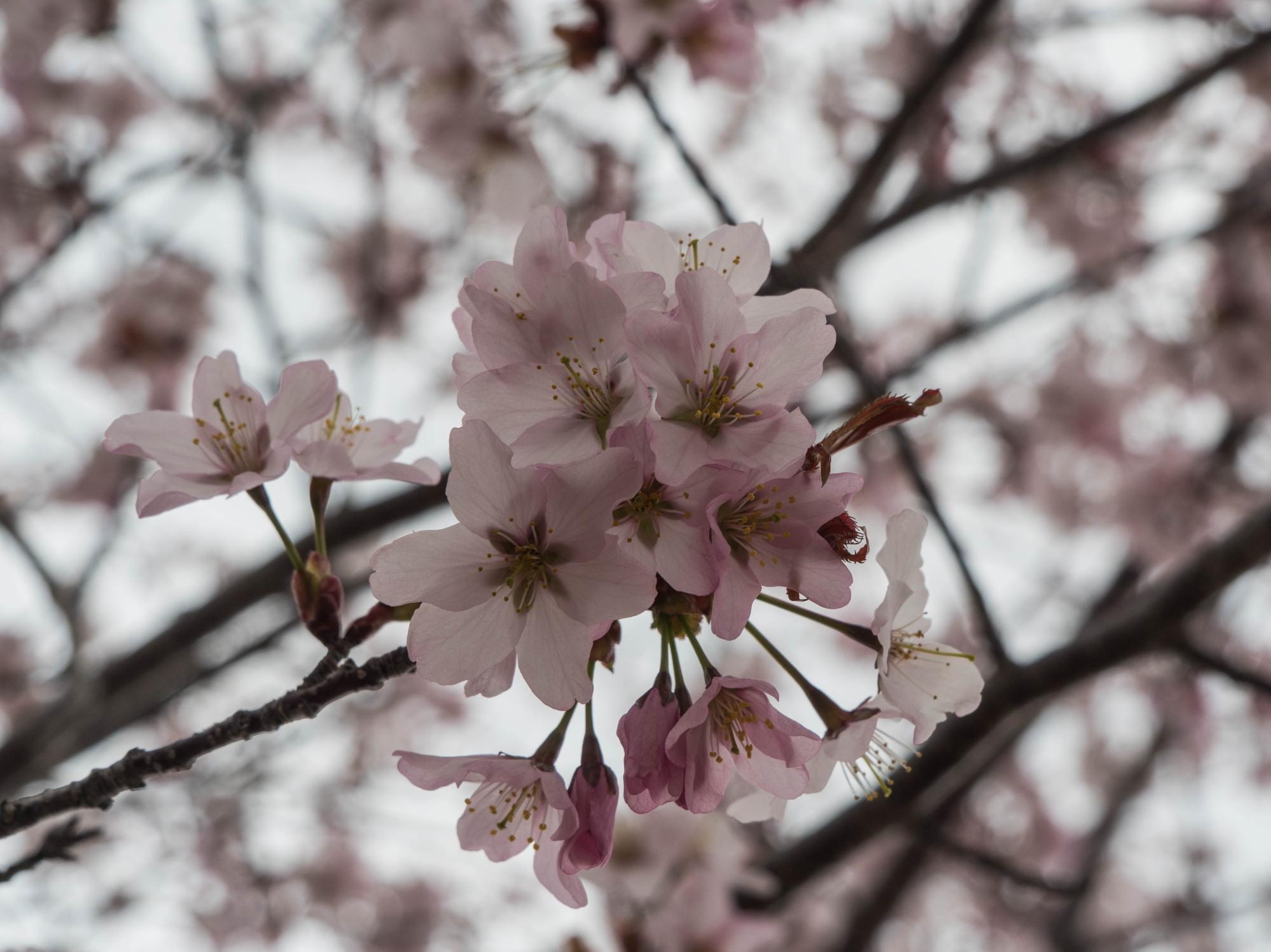 十勝の桜名所「桜六花公園」のサクラが満開になりました。_f0276498_11342365.jpg