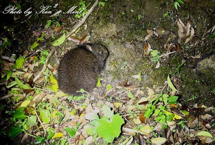 天然記念物「アマミノクロウサギ」さんと「イボイモリ」さん♪初見♪初撮り♪ ー番外編ー_e0218518_16012564.jpg