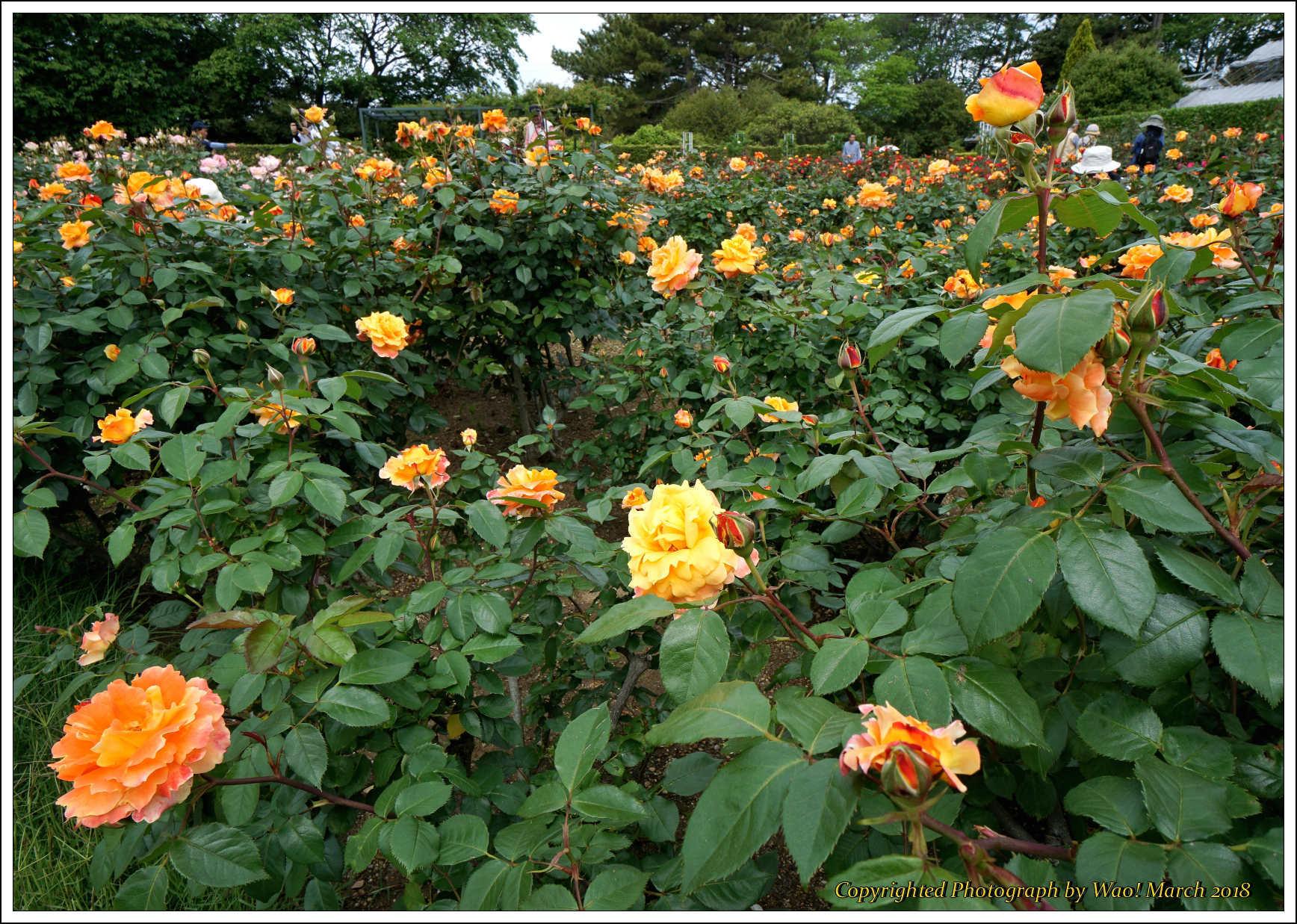 バラ 色と香り色々_c0198669_15372926.jpg