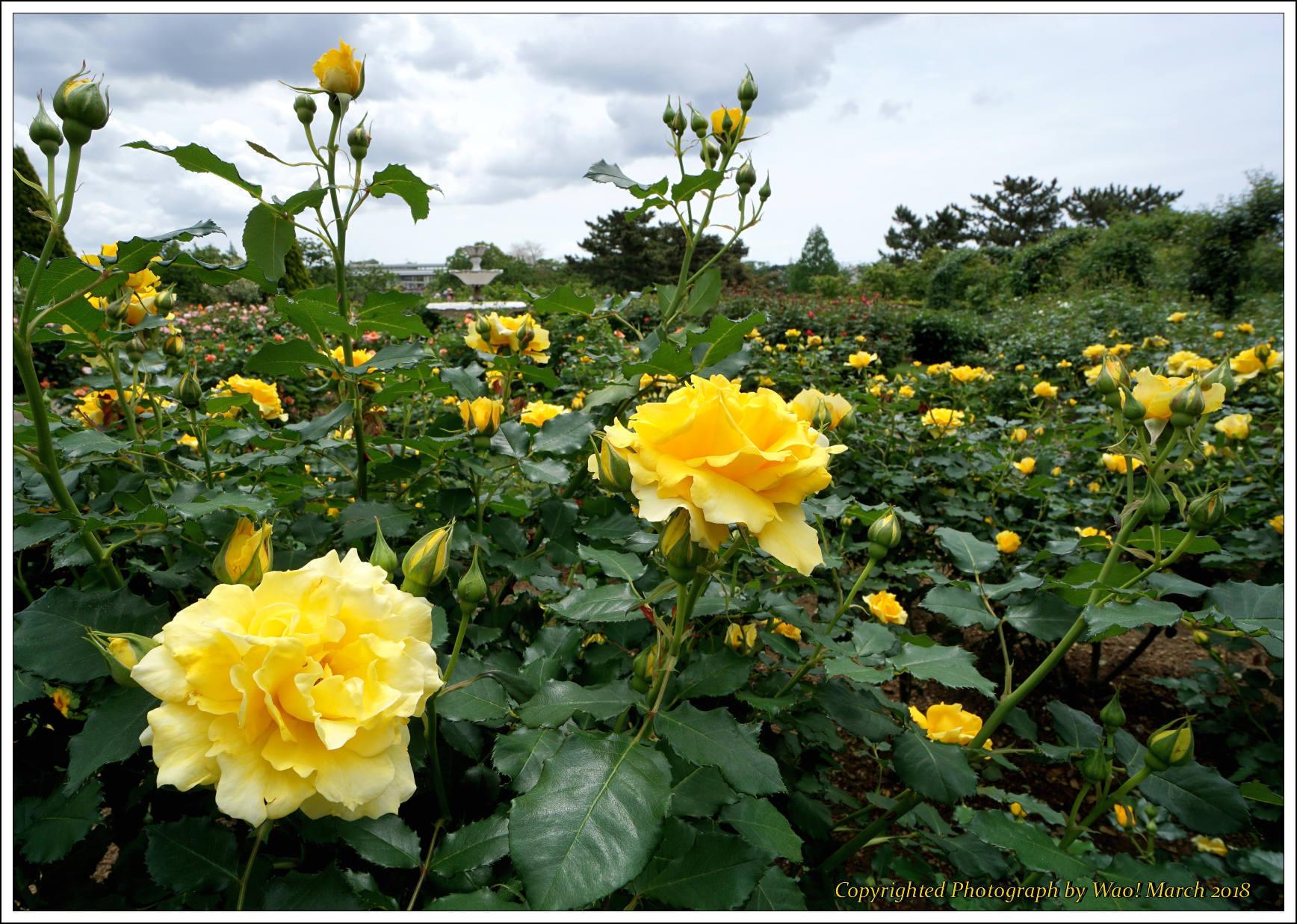 バラ 色と香り色々_c0198669_15373400.jpg