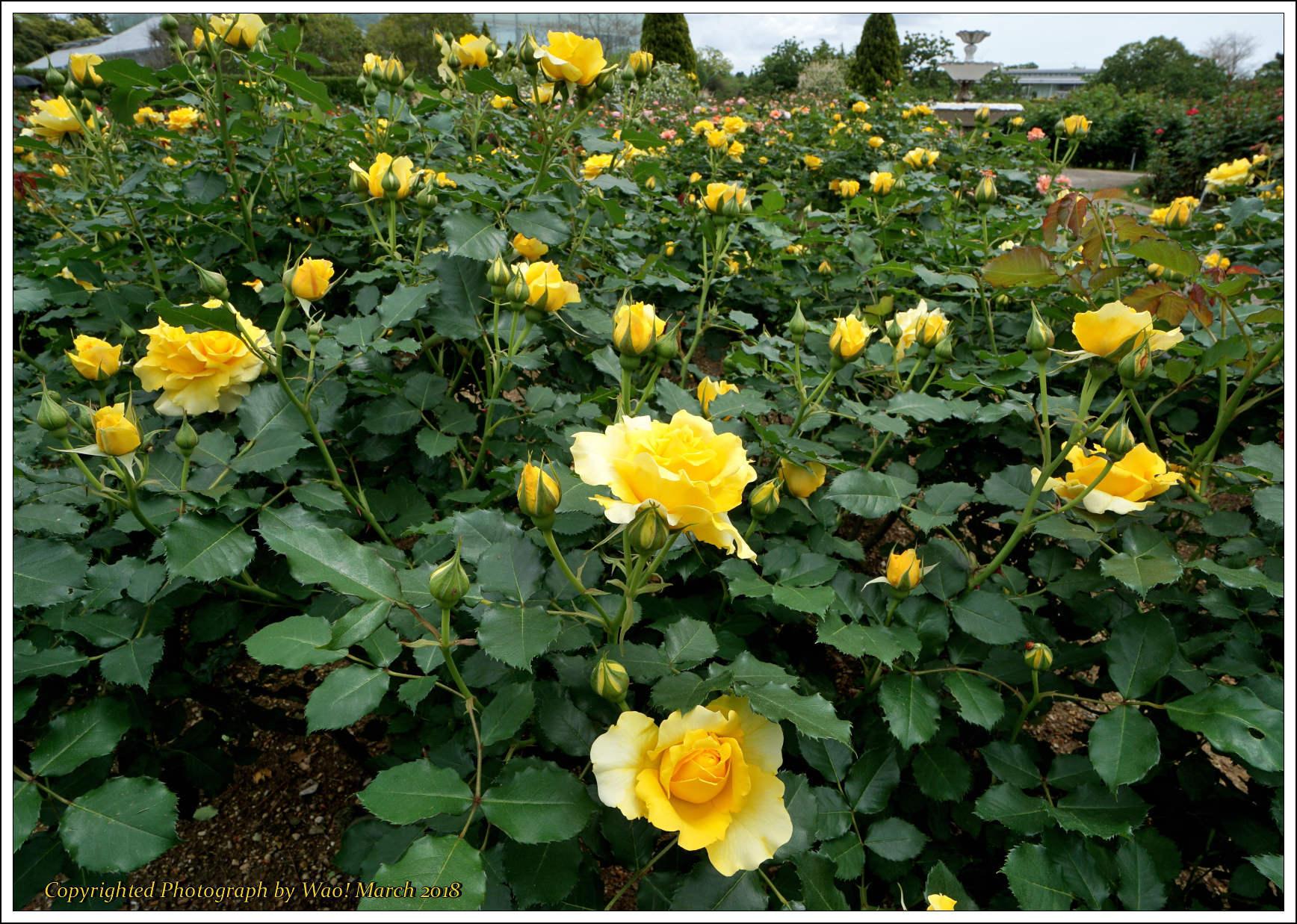 バラ 色と香り色々_c0198669_15374079.jpg