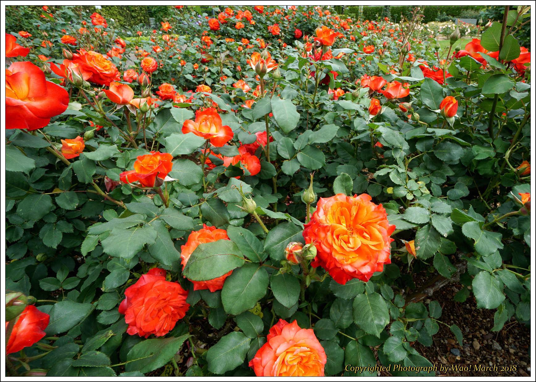 バラ 色と香り色々_c0198669_15374637.jpg