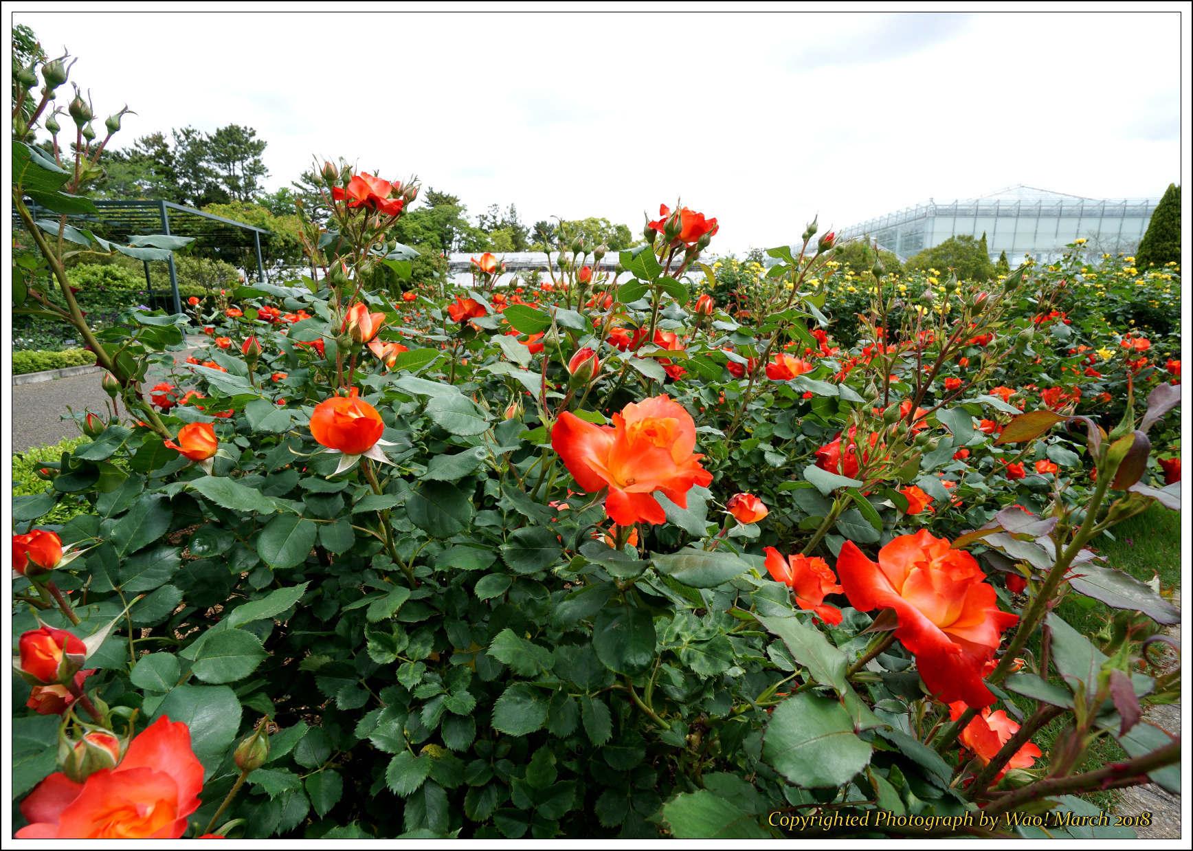 バラ 色と香り色々_c0198669_15375107.jpg