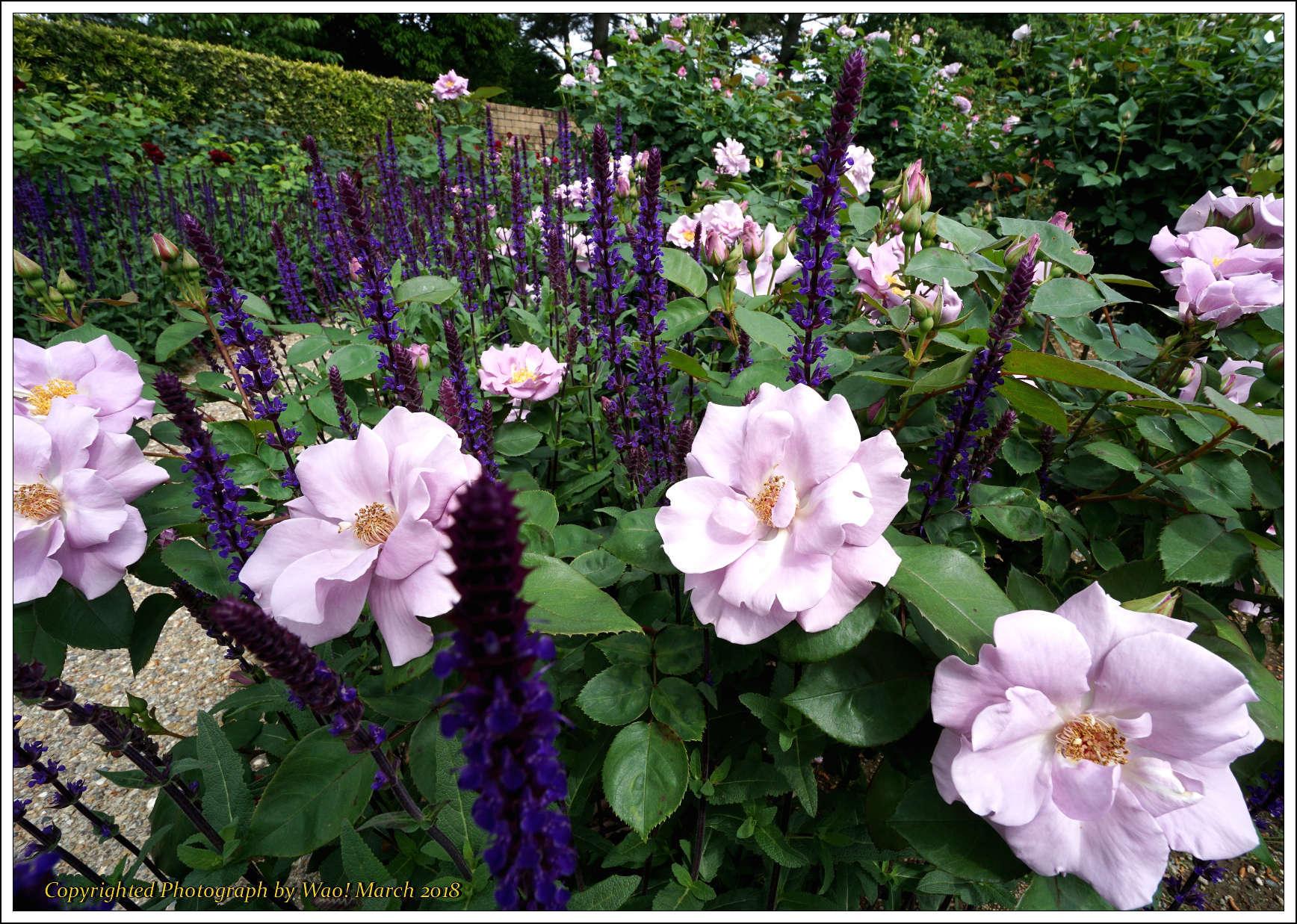 バラ 色と香り色々_c0198669_15375775.jpg