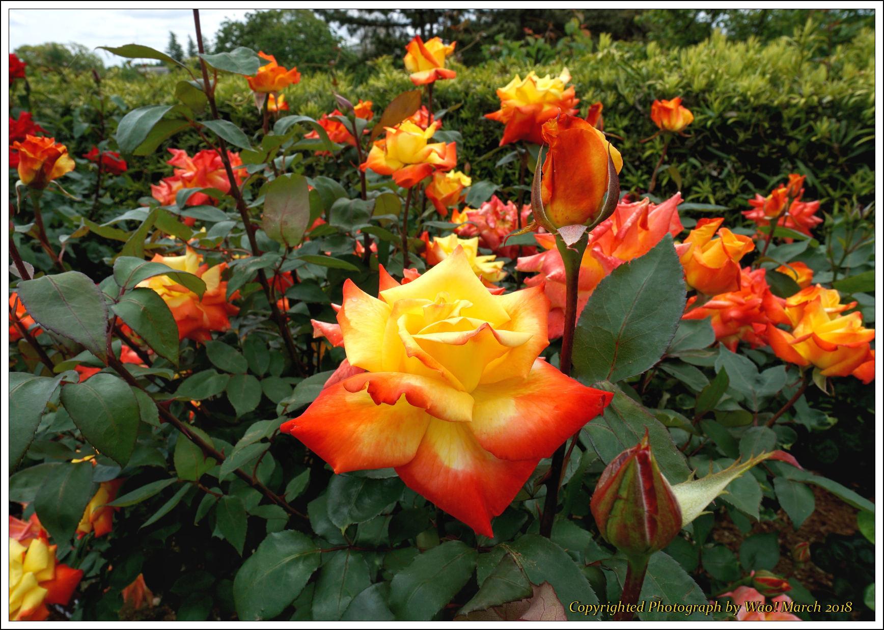 バラ 色と香り色々_c0198669_15380283.jpg