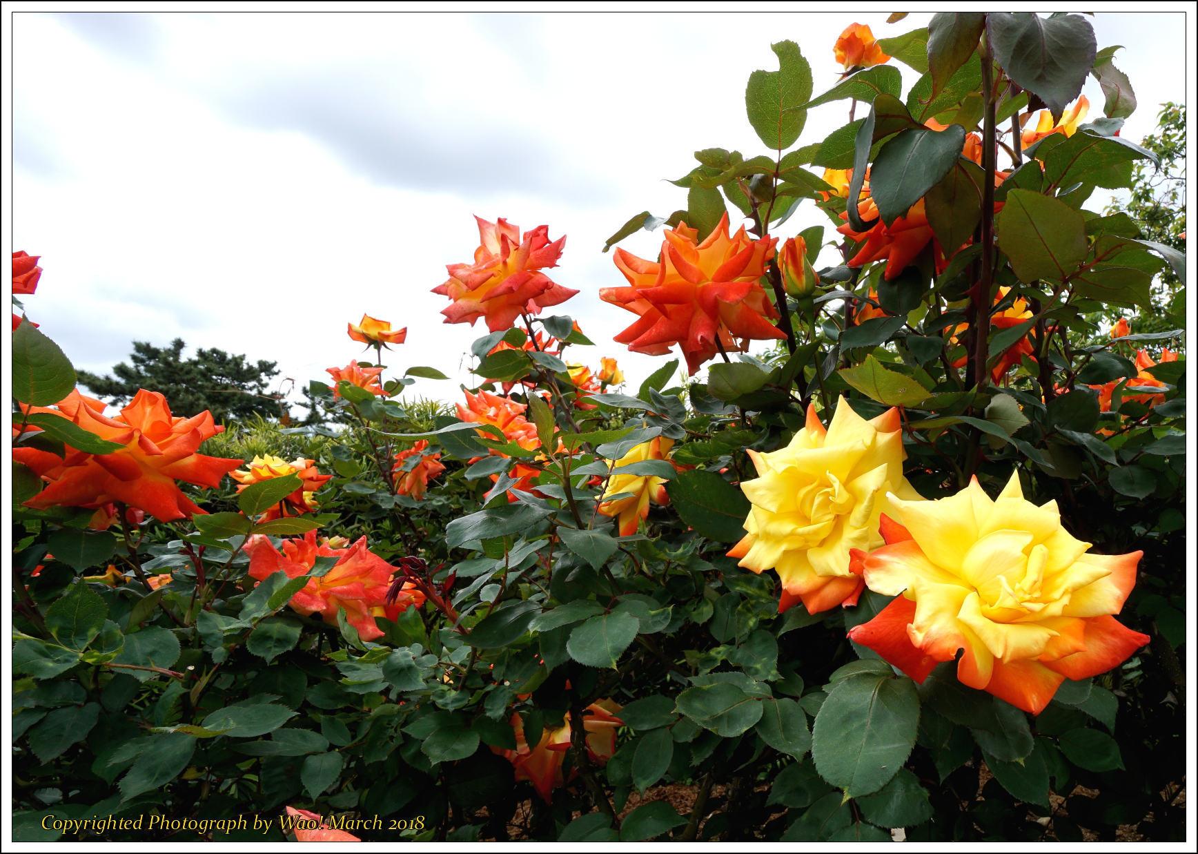 バラ 色と香り色々_c0198669_15380856.jpg