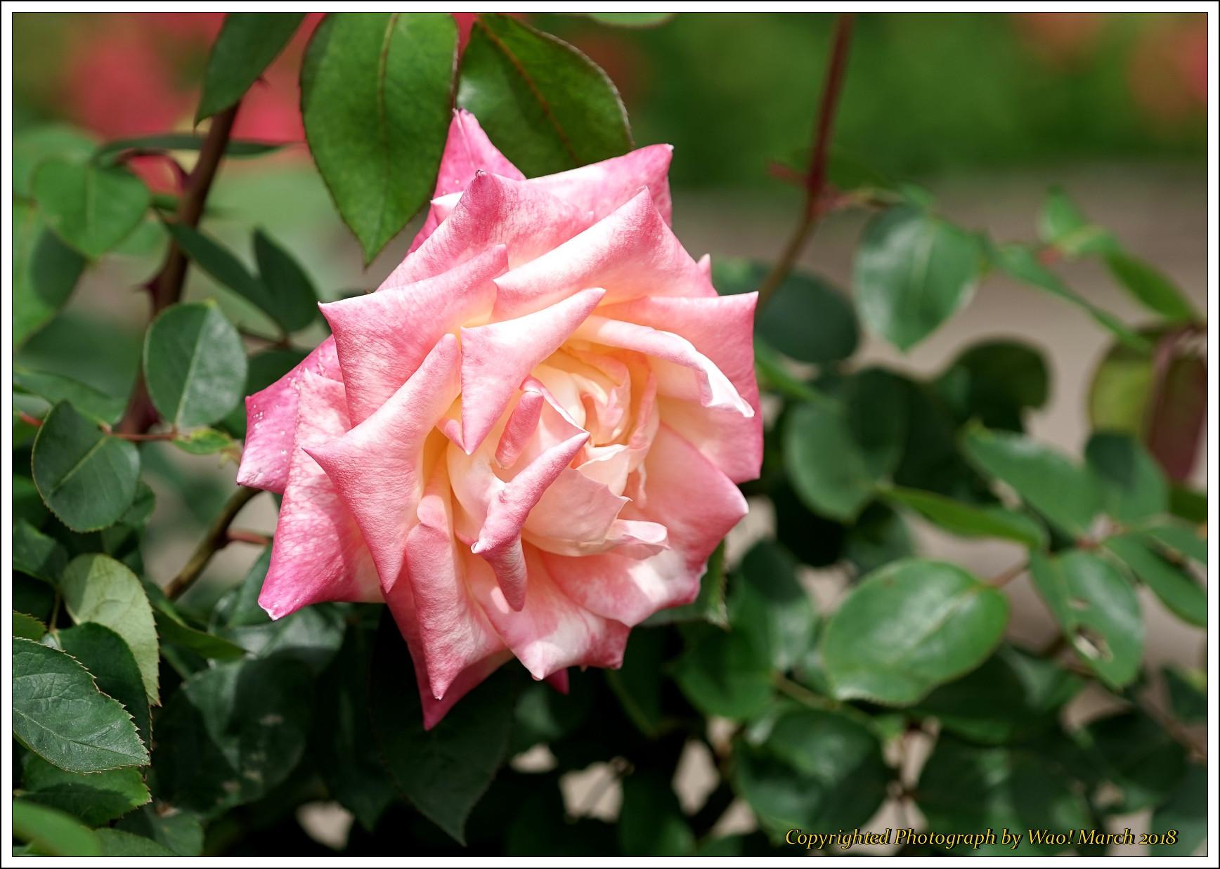バラ 色と香り色々_c0198669_15400179.jpg