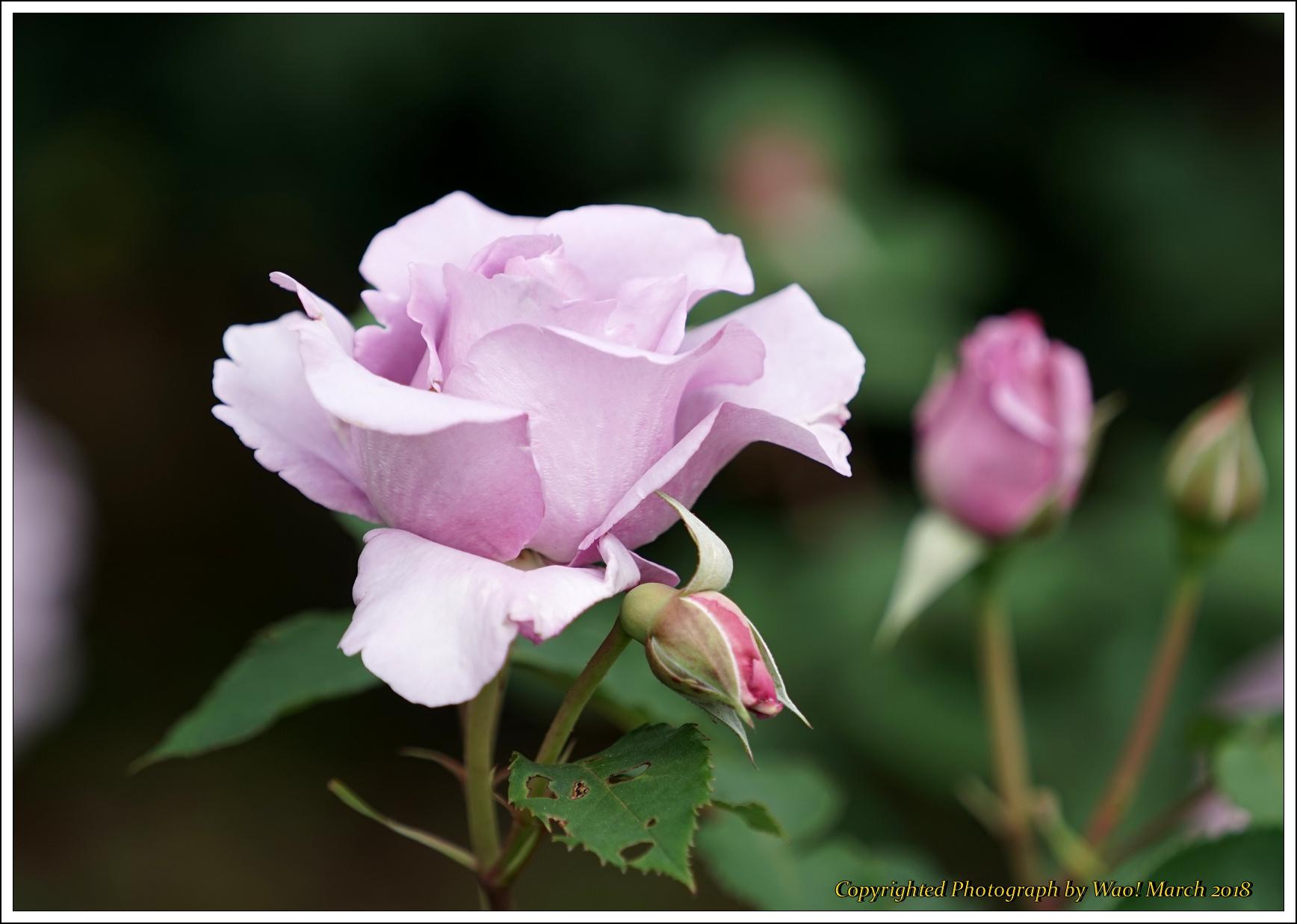 バラ 色と香り色々_c0198669_15401149.jpg