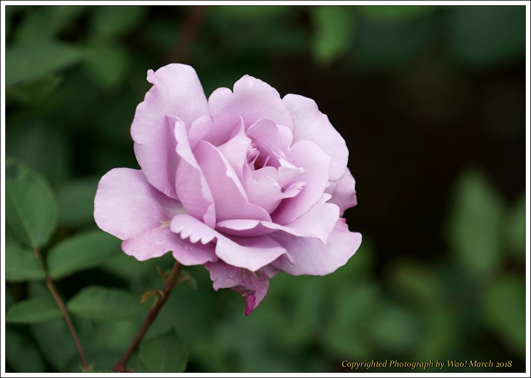 バラ 色と香り色々_c0198669_15401657.jpg