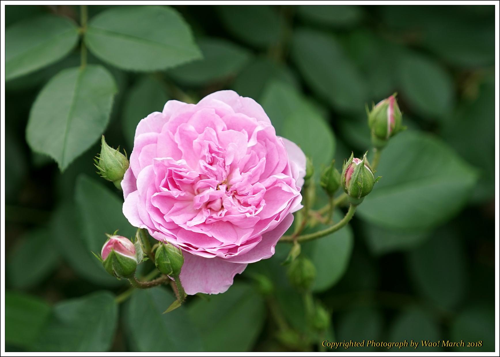 バラ 色と香り色々_c0198669_15402631.jpg