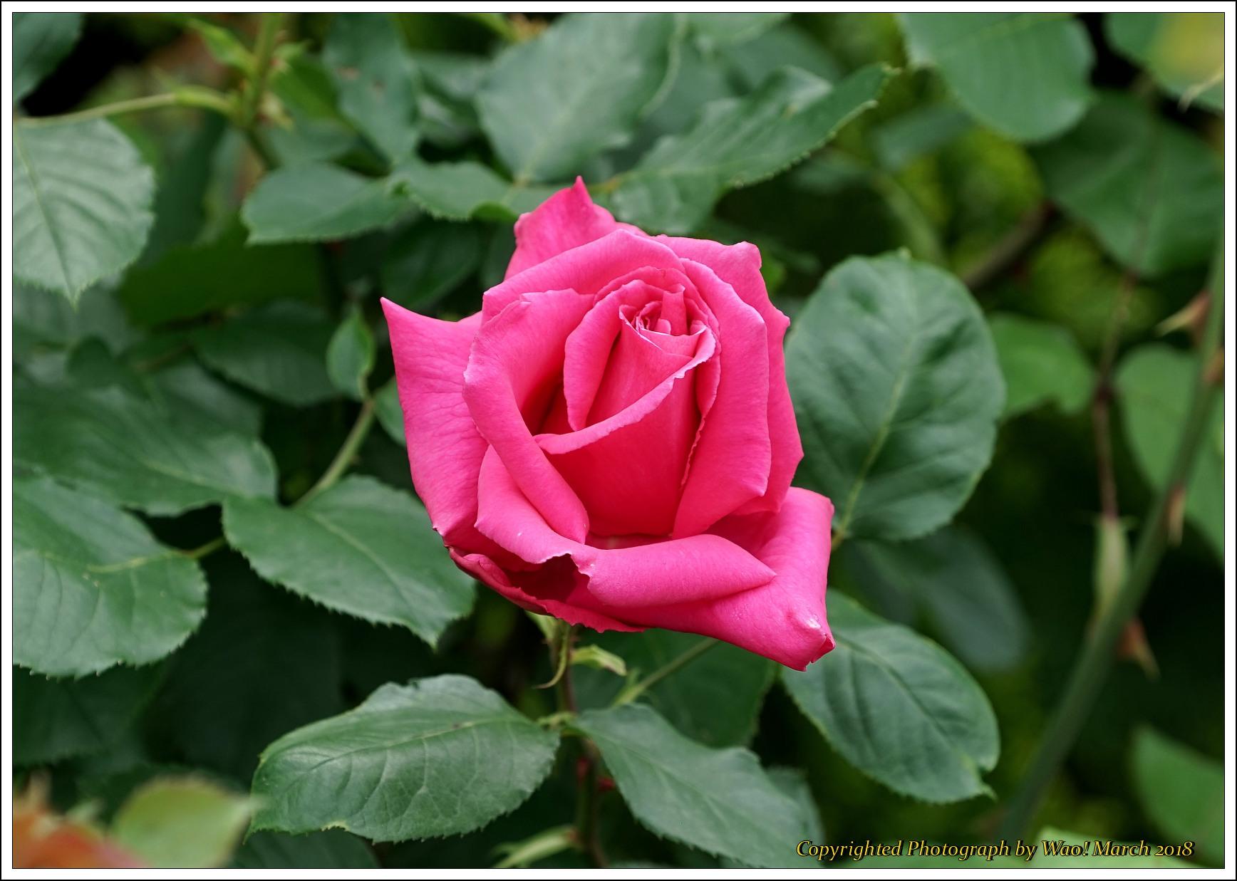 バラ 色と香り色々_c0198669_15403601.jpg