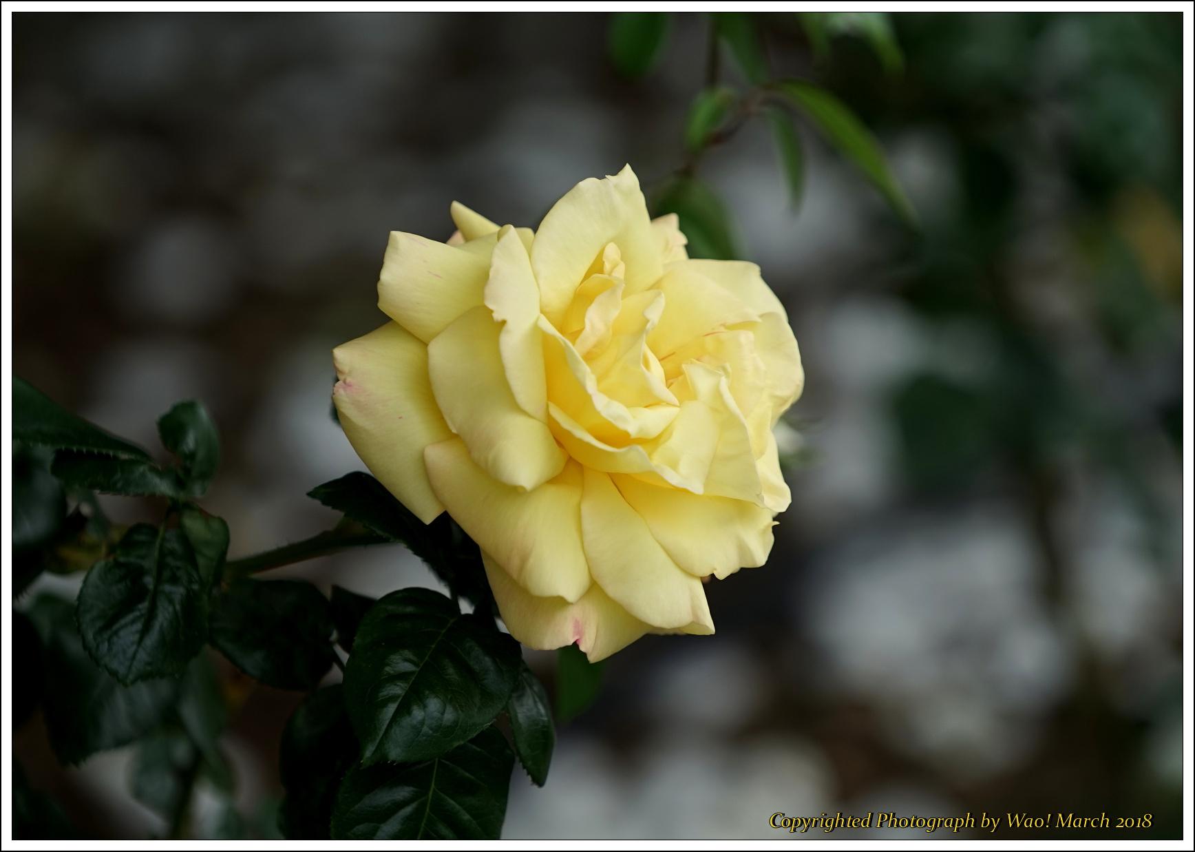 バラ 色と香り色々_c0198669_15405066.jpg