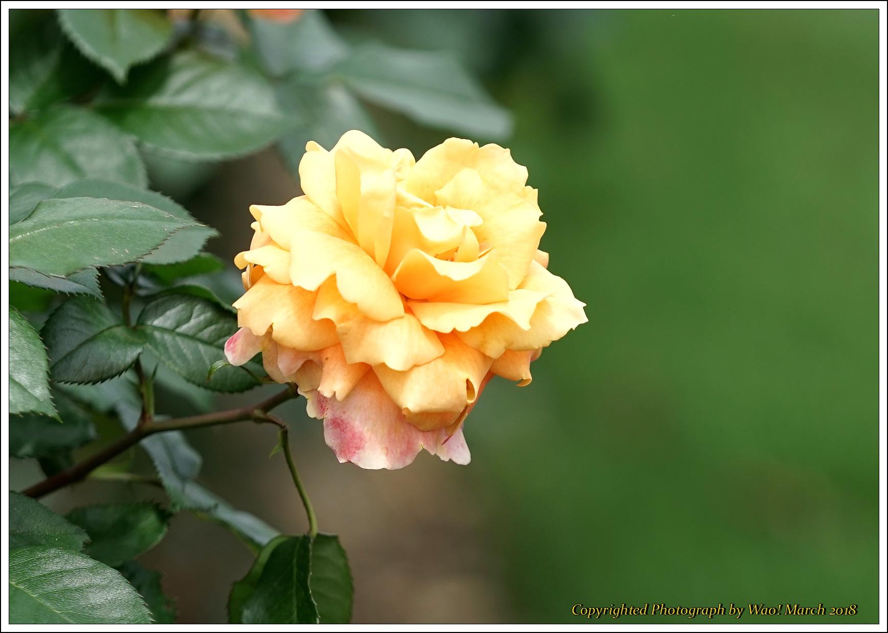 バラ 色と香り色々_c0198669_15405624.jpg
