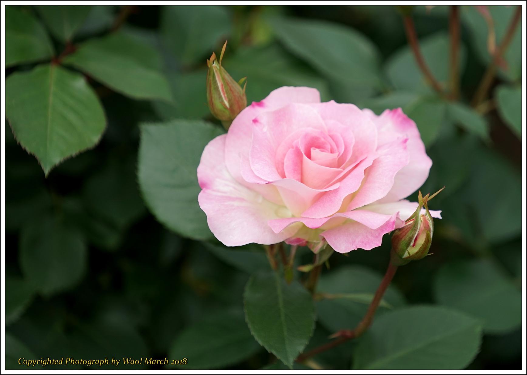 バラ 色と香り色々_c0198669_15410641.jpg