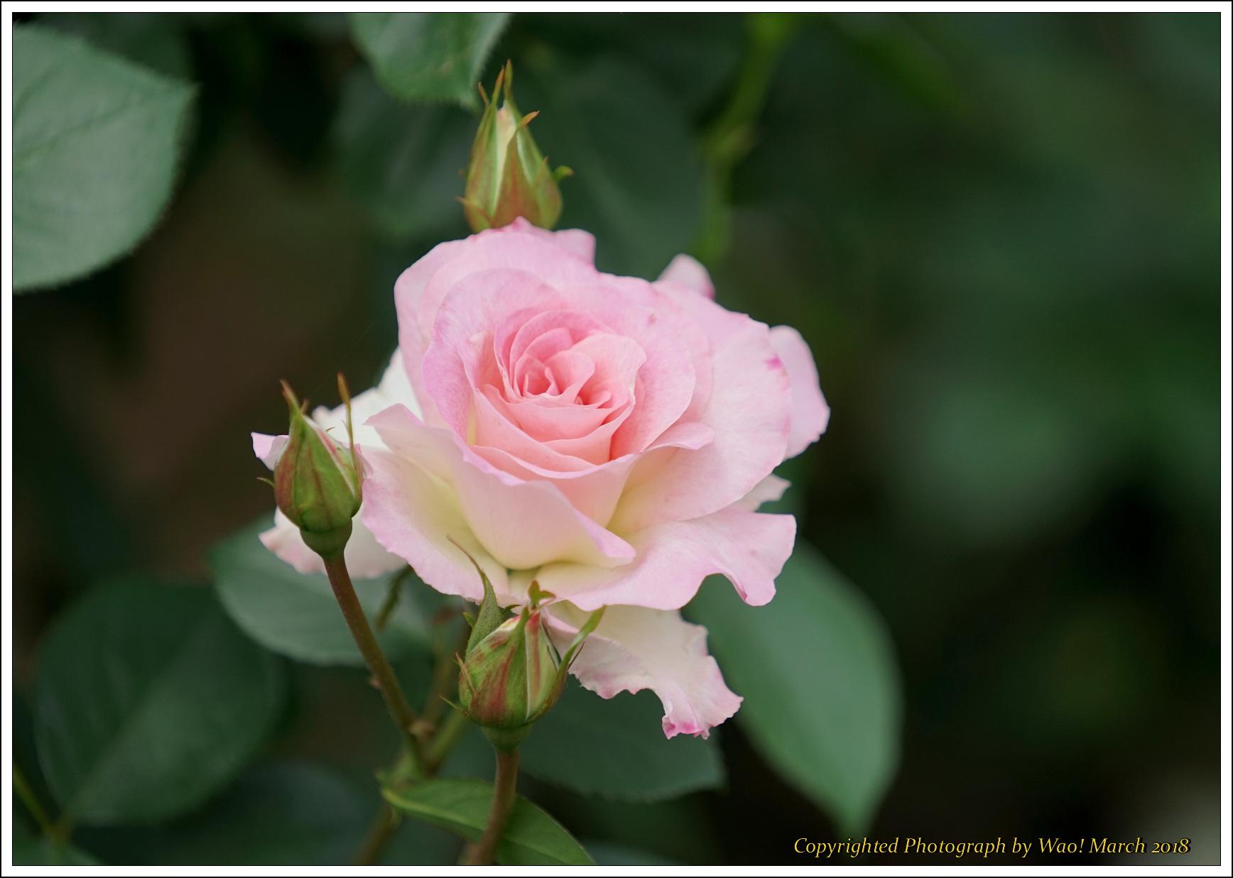 バラ 色と香り色々_c0198669_15413741.jpg