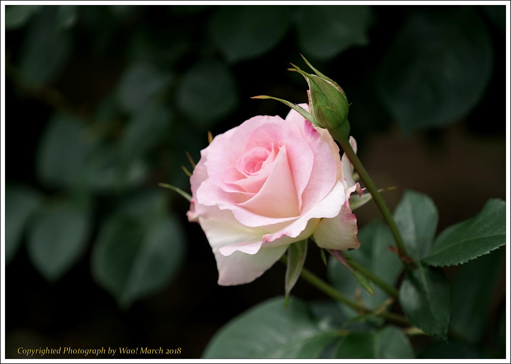 バラ 色と香り色々_c0198669_15414438.jpg
