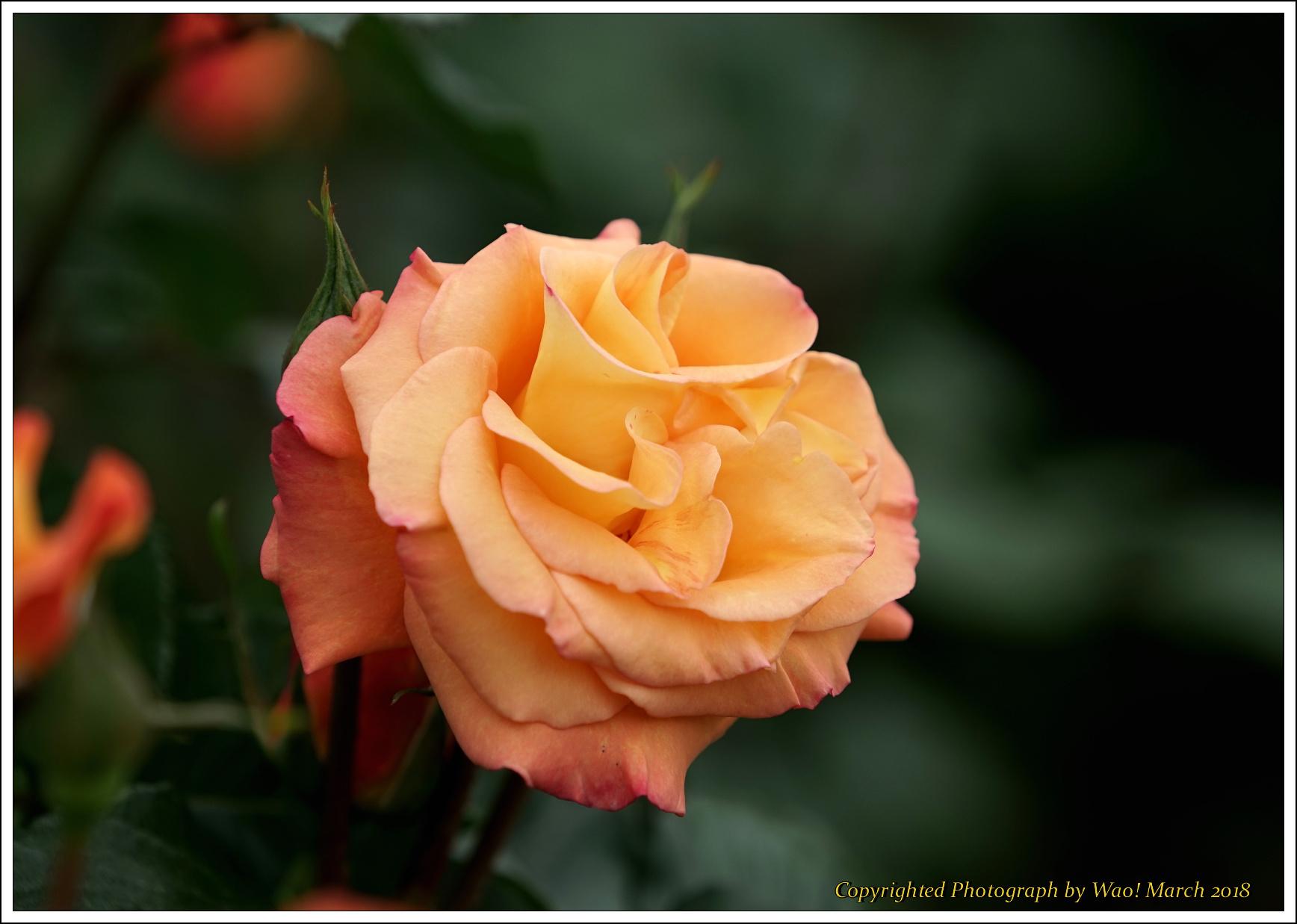 バラ 色と香り色々_c0198669_15415339.jpg
