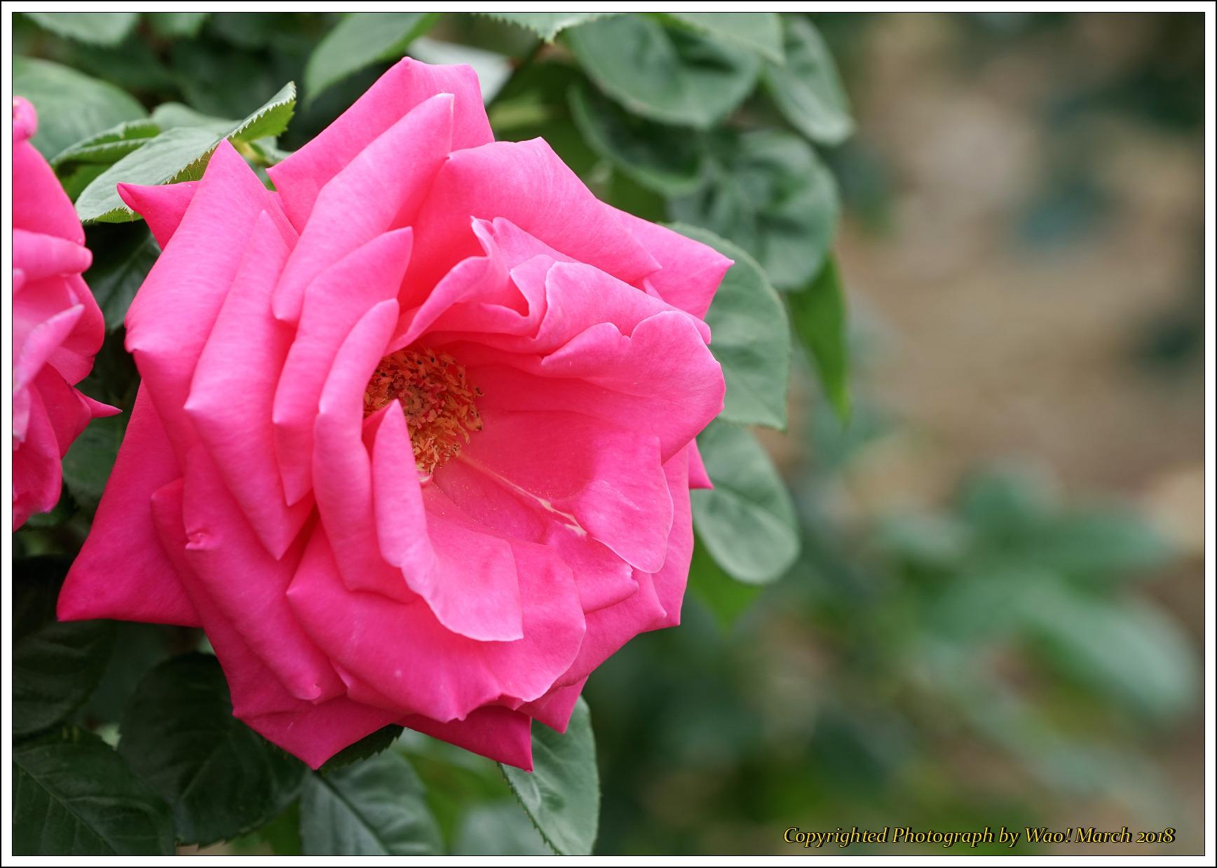 バラ 色と香り色々_c0198669_15421158.jpg