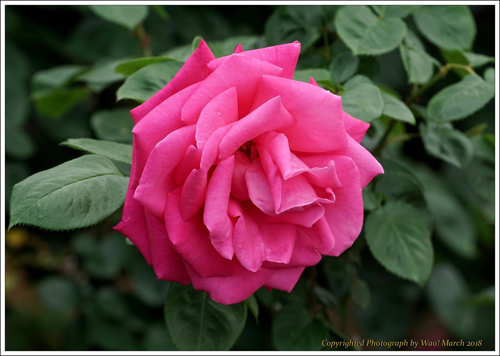 バラ 色と香り色々_c0198669_15421955.jpg