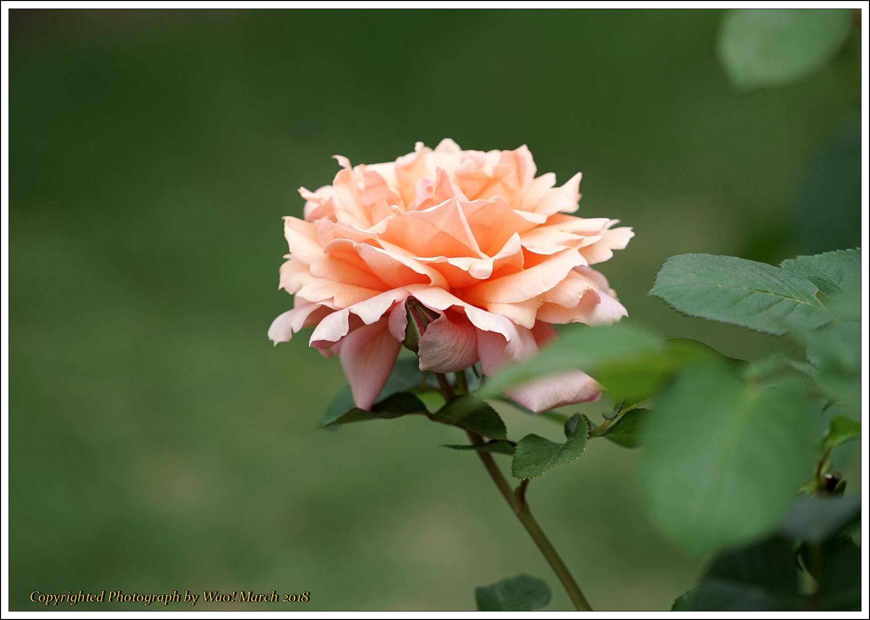 バラ 色と香り色々_c0198669_15422687.jpg