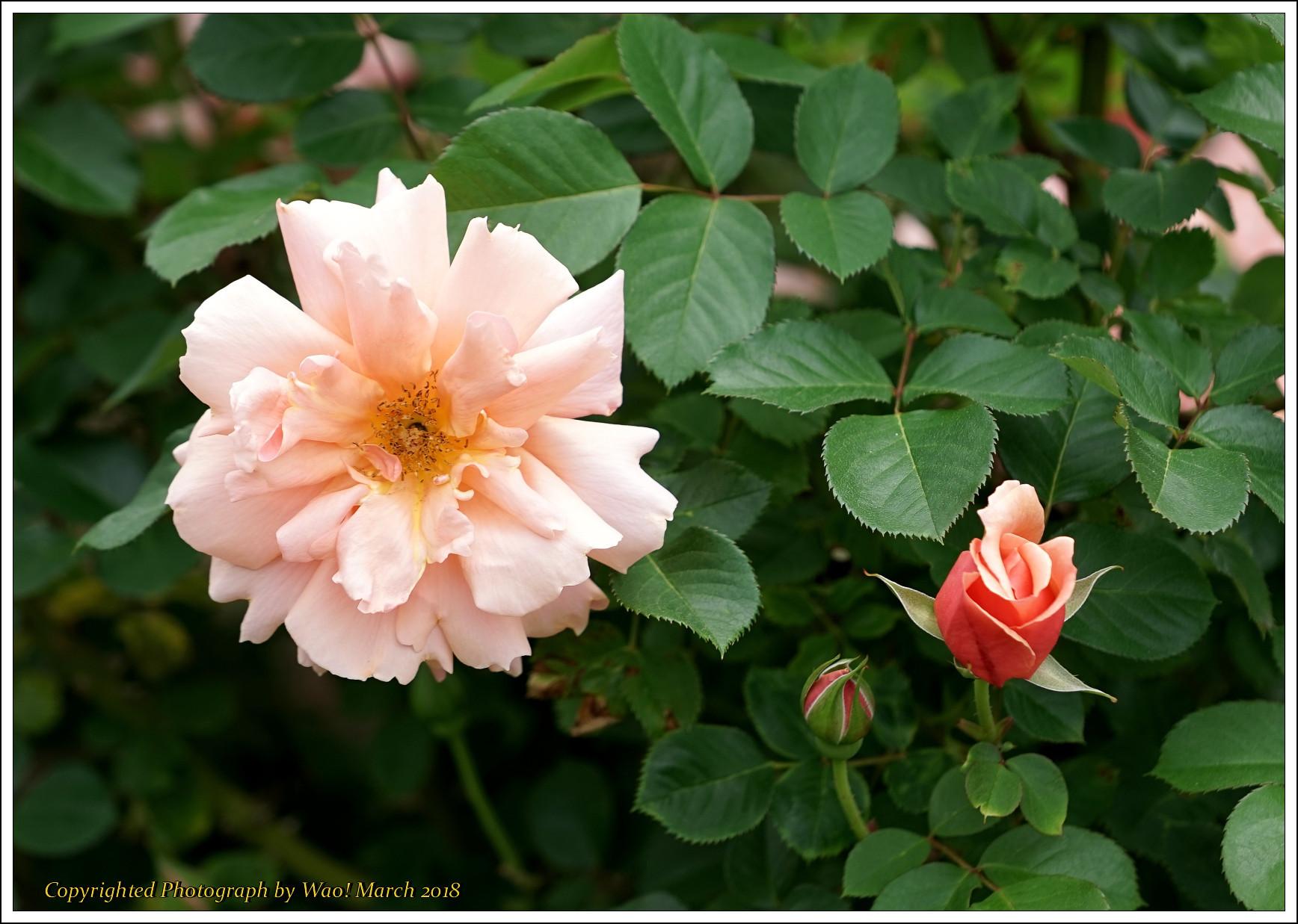 バラ 色と香り色々_c0198669_15424160.jpg