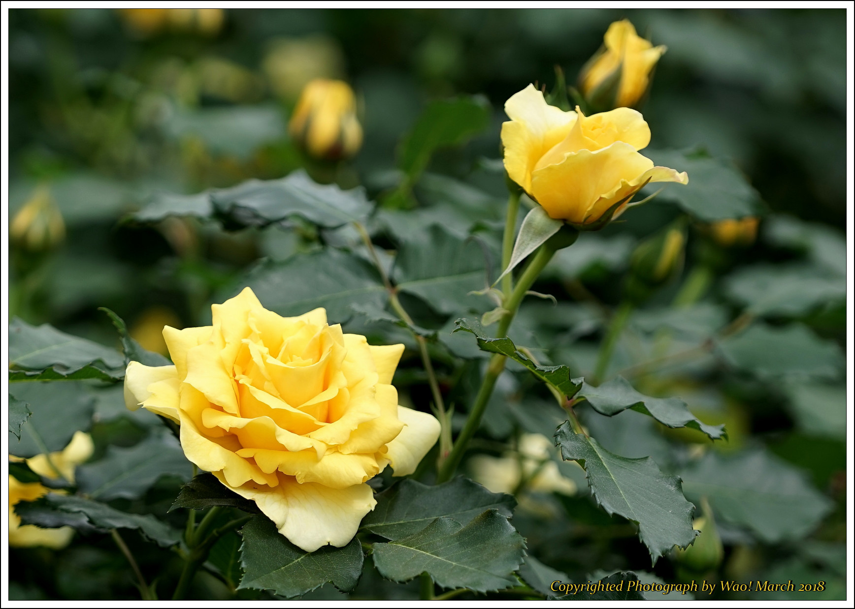 バラ 色と香り色々_c0198669_15425088.jpg