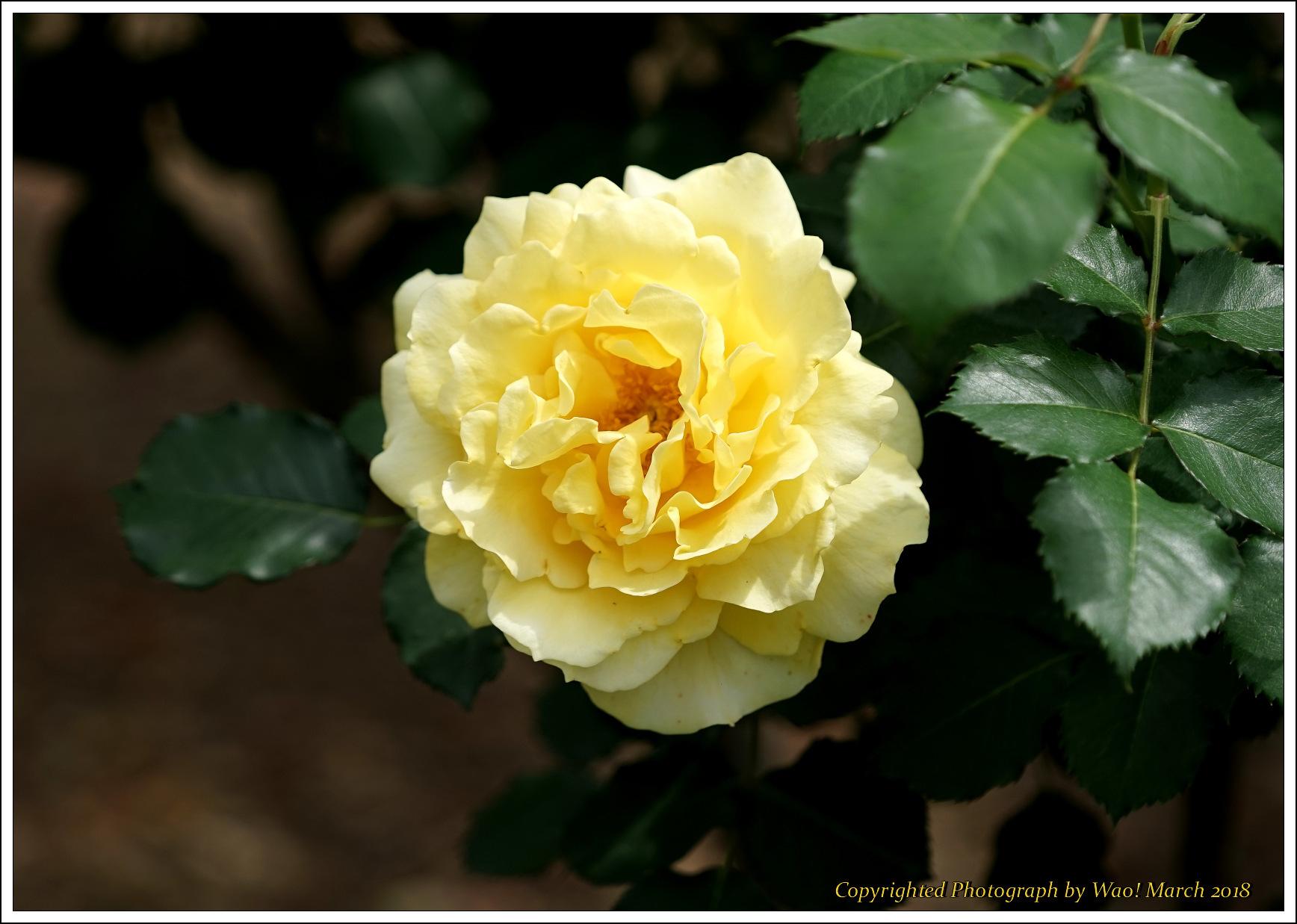 バラ 色と香り色々_c0198669_15431236.jpg