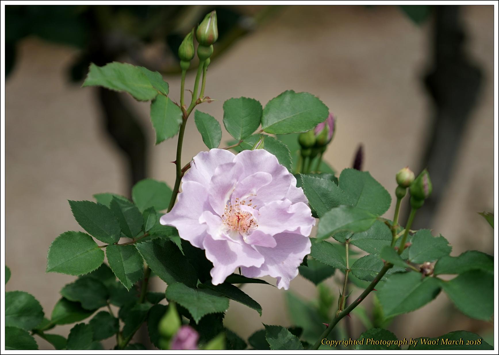バラ 色と香り色々_c0198669_15432743.jpg