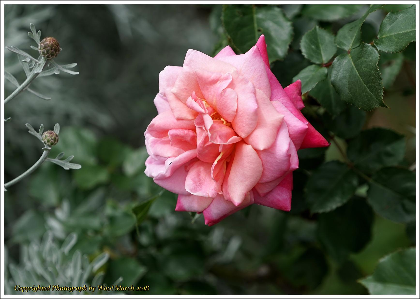 バラ 色と香り色々_c0198669_15433510.jpg
