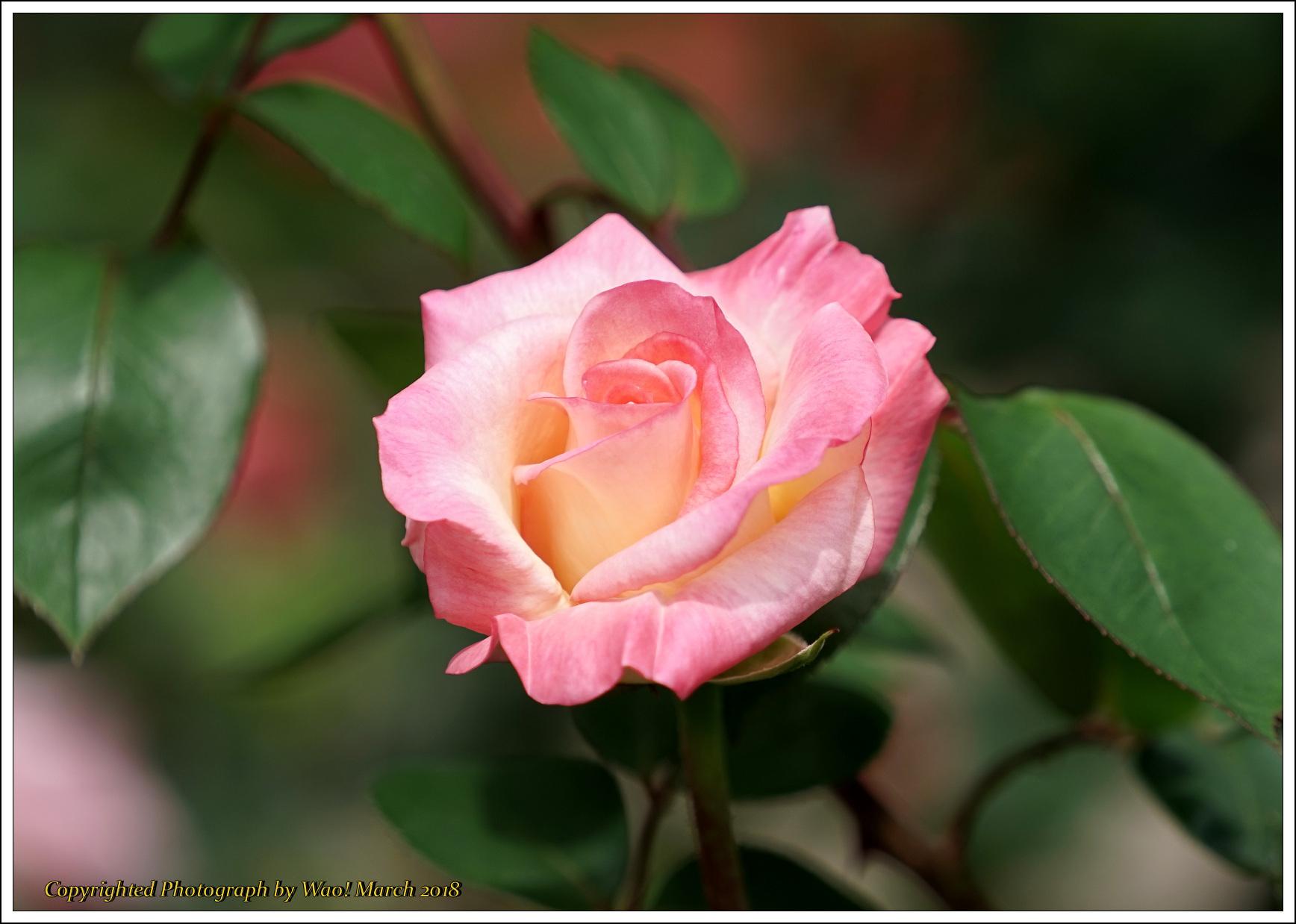 バラ 色と香り色々_c0198669_15443077.jpg
