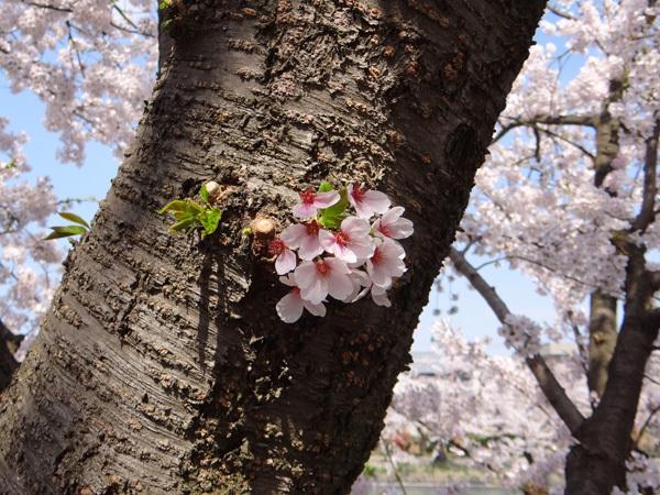 遅くなったけど(^^; 桜のトンネル弘前公園西堀ほかいろいろ^^_a0136293_19120147.jpg