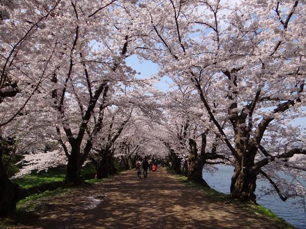 遅くなったけど(^^; 桜のトンネル弘前公園西堀ほかいろいろ^^_a0136293_19124571.jpg