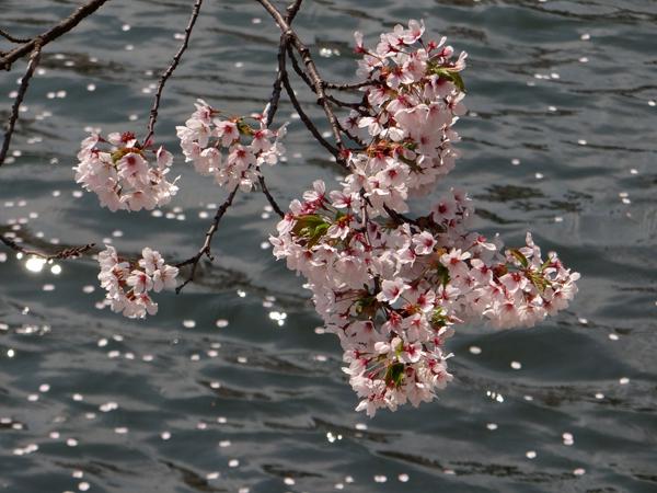 遅くなったけど(^^; 桜のトンネル弘前公園西堀ほかいろいろ^^_a0136293_19174686.jpg
