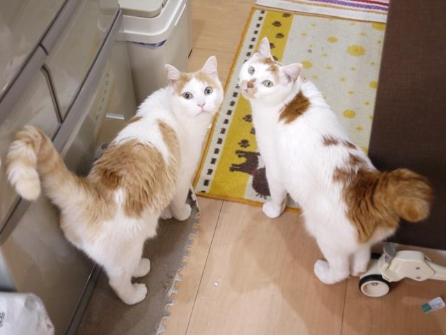 猫のお留守番 開くん咲くん編。_a0143140_20550969.jpg