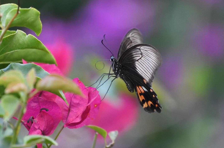 与論島の蝶たち_d0285540_20401996.jpg