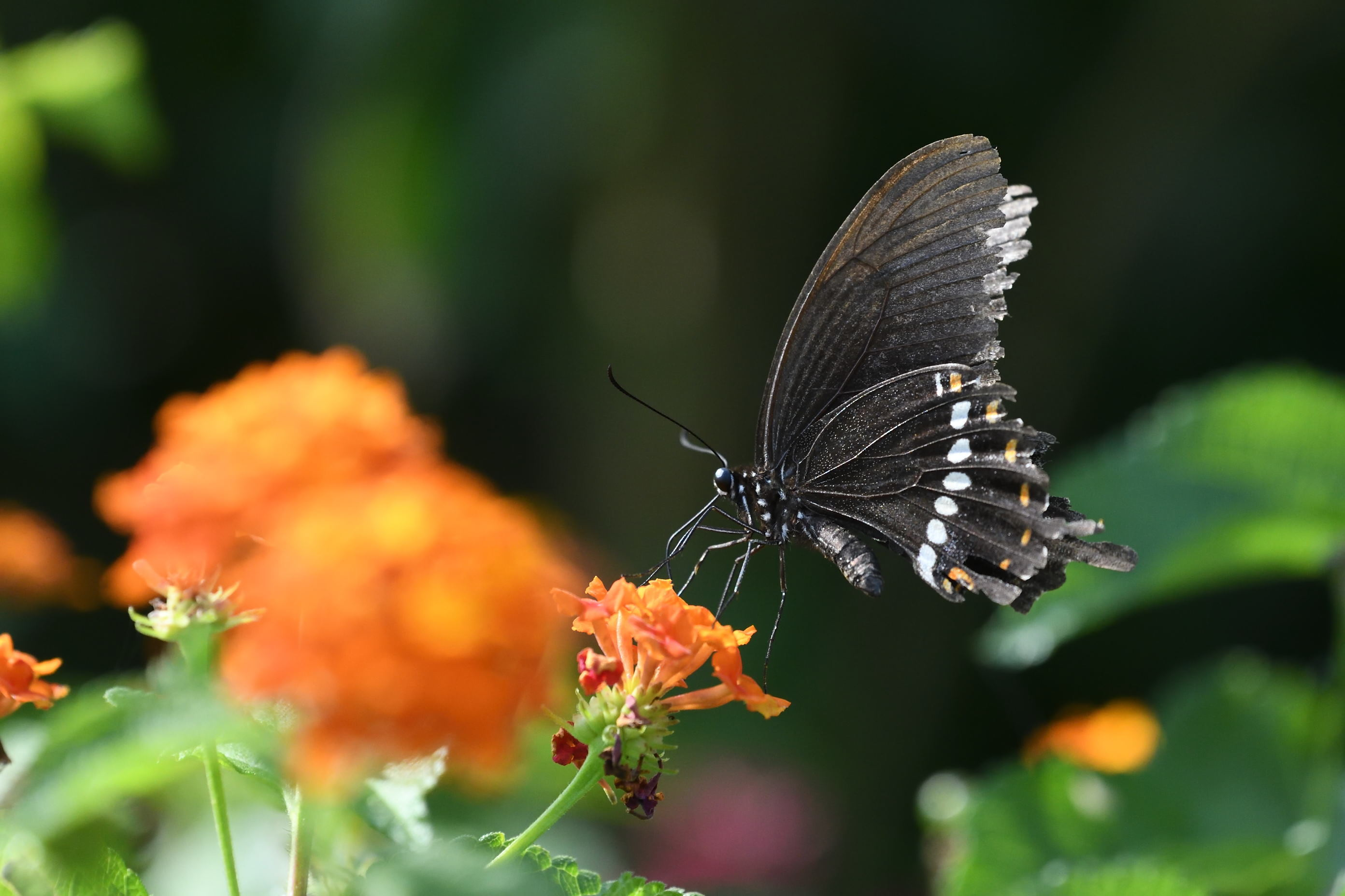 与論島の蝶たち_d0285540_20402219.jpg