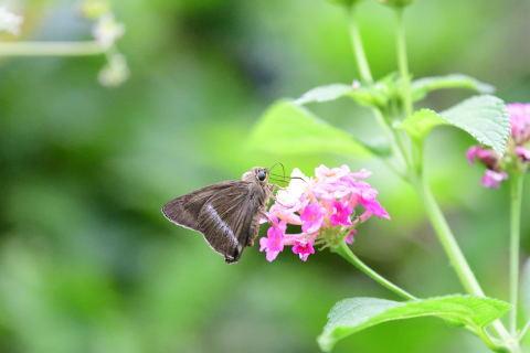与論島の蝶たち_d0285540_20402828.jpg