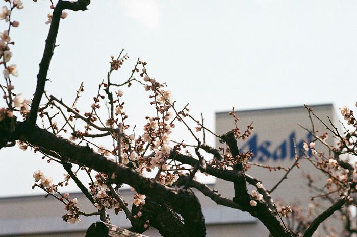 アサヒビール園の梅花とラム肩ロース_c0182775_1653516.jpg