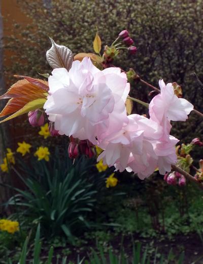 庭に小さな八重桜♪_a0136293_17124938.jpg
