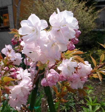 庭に小さな八重桜♪_a0136293_17190857.jpg